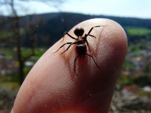 chervena-gorska-mravka